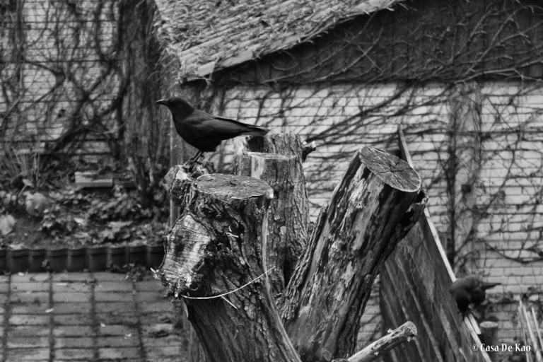 Backyard crow