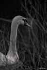 kao_swans4-1