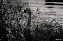 kao_swans5-1