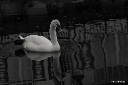 kao_swans7-1