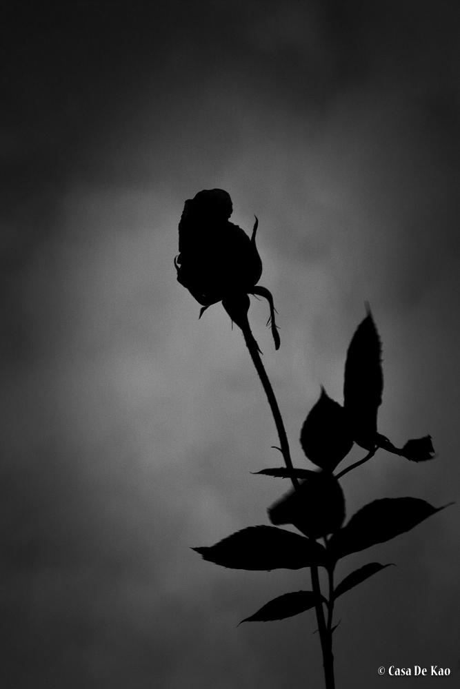 kao-blackrose-0094