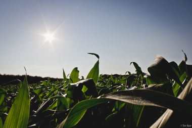 kao-backyard-cornfield-0338
