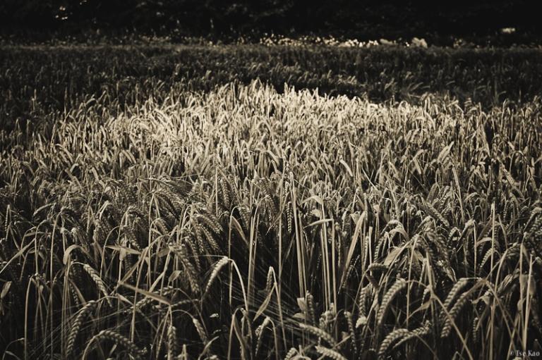 kao-backyard-wheat-0357